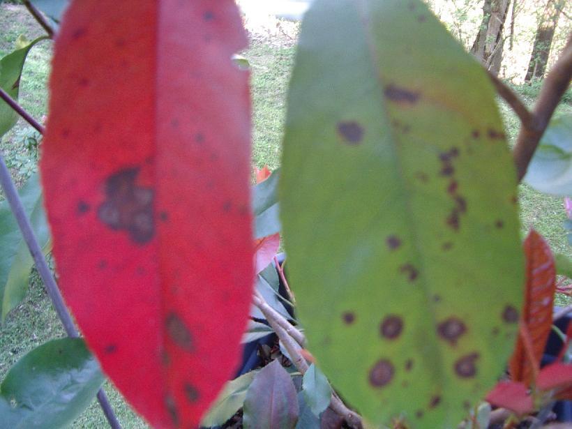 Glanzmispel Verliert Blätter rote glanzmispel rote glanzmispel wann pflanzen k bel einpacken
