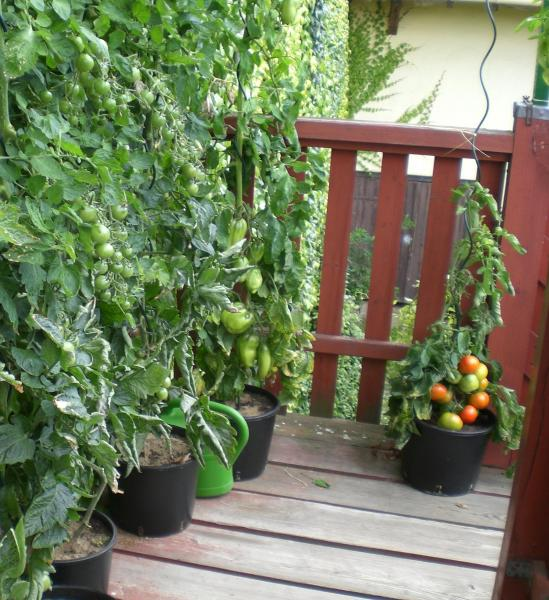 keimzeit tomaten bei besonderen sorten haus garten. Black Bedroom Furniture Sets. Home Design Ideas