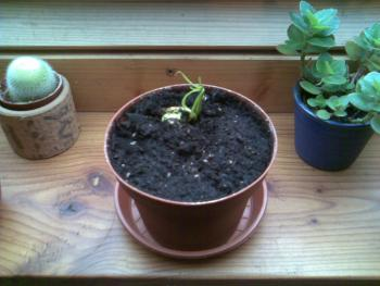 hat jemand mal einen mango kern erfolgreich eingepflanzt. Black Bedroom Furniture Sets. Home Design Ideas