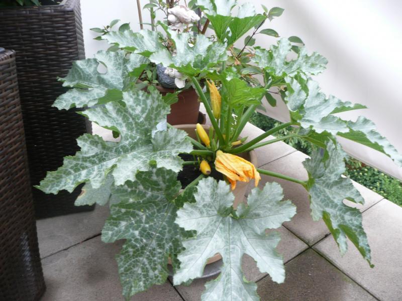 kann man zucchinipflanzen auch in blumenk bel pflanzen haus garten forum. Black Bedroom Furniture Sets. Home Design Ideas