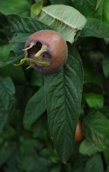 Unbekannte Pflanzen Hilft Bestimmen 1 Frucht Evtl Mispel 3 Blüh  Duftpflanzen 1262900756
